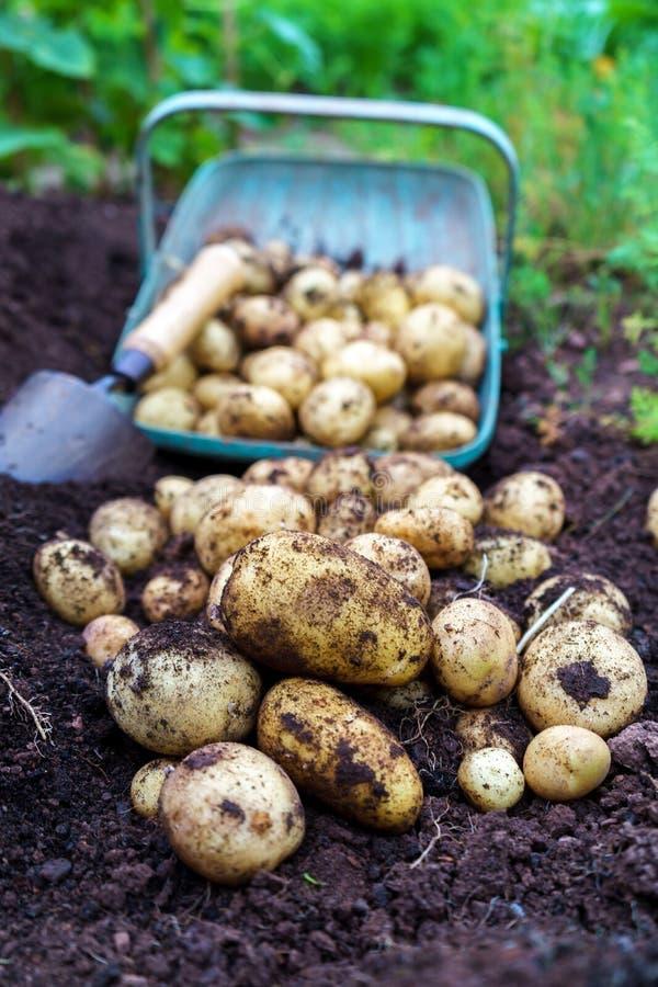 新鲜的有机土豆在有充分的篮子的庭院里和在土壤的小的修平刀收获  库存照片