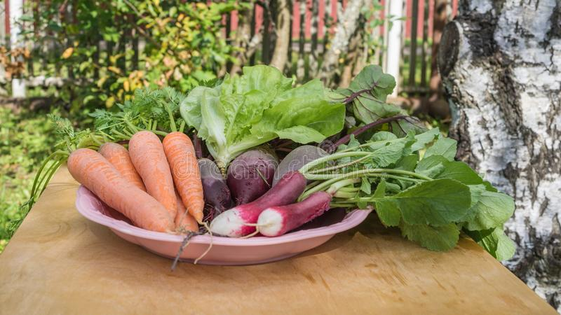 新鲜的有机红萝卜,沙拉,萝卜,与绿色的甜菜根在板材离开在木背景 免版税库存照片
