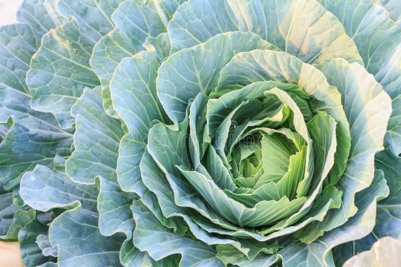 新鲜的有机绿色莴苣菜沙拉在健康、食物和农业构思设计的农场 免版税库存图片