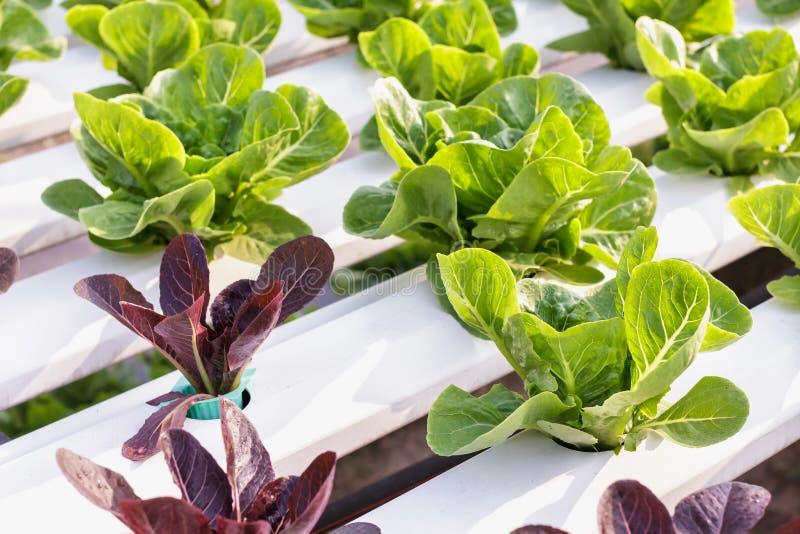 新鲜的有机绿色菜沙拉在水栽法健康食品和农业构思设计的温室农场 免版税库存照片