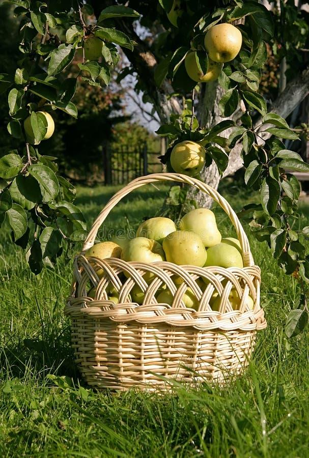 篮子用在orcard的苹果 免版税库存图片