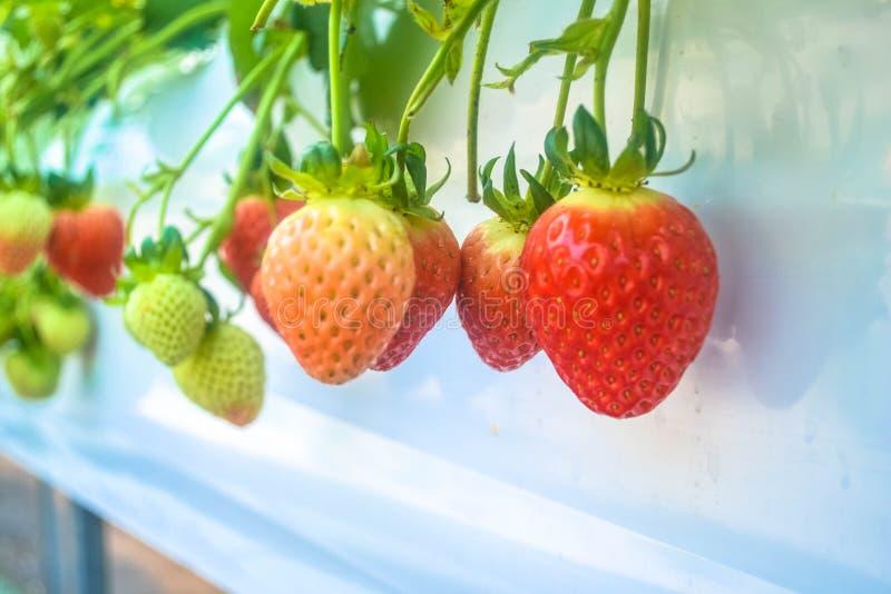 新鲜的有机草莓 免版税库存图片