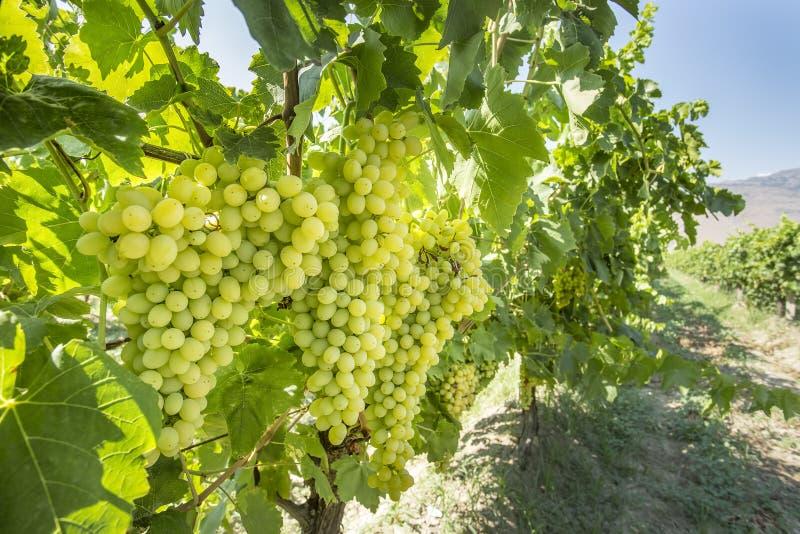 新鲜的有机葡萄,葡萄园 土耳其/伊兹密尔/Foca 免版税库存照片