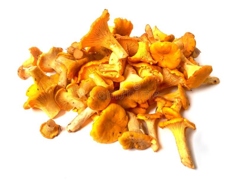 新鲜的有机黄蘑菇蘑菇鸡油菌属cibarius堆  免版税库存图片