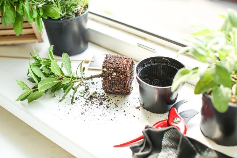 新鲜的本地出产的草本和园艺工具在窗台 图库摄影
