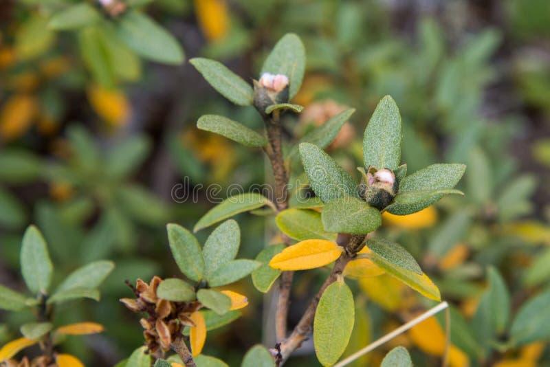 新鲜的杜鹃花Adamsii 萨根戴尔, Sagaan大理,白色翼, Shandala 生长在西伯利亚的山的医疗茶 库存图片