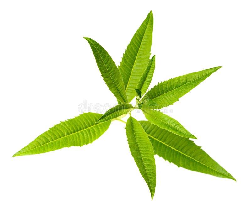 新鲜的柠檬马鞭草属植物在白色,顶视图离开 免版税库存照片