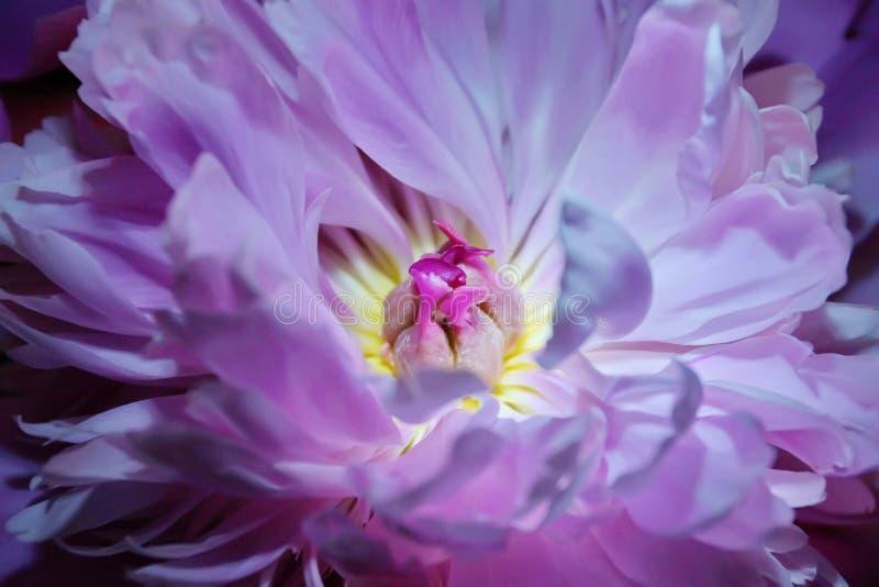 新鲜的桃红色牡丹特写镜头 库存照片
