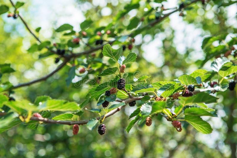 新鲜的桑树,黑成熟和红色未成熟的桑树 库存图片