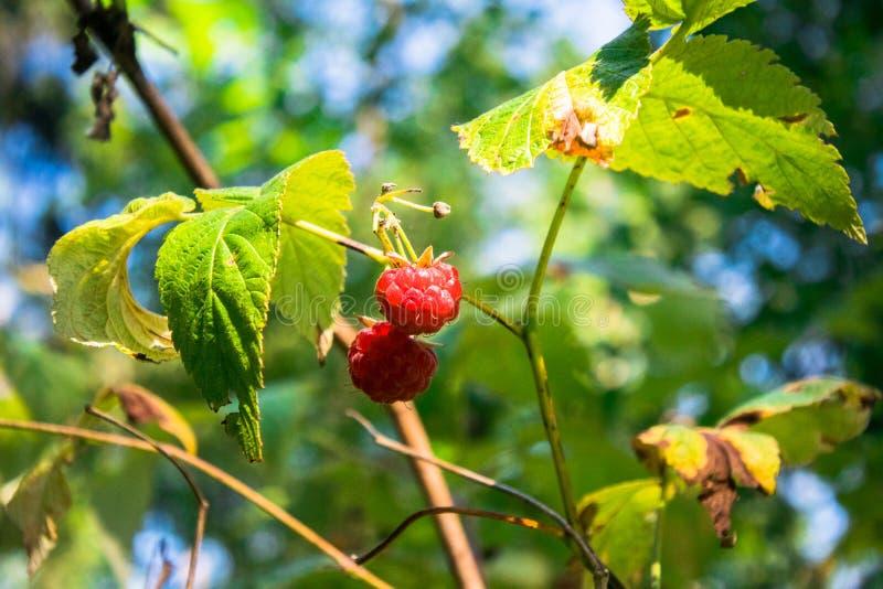 新鲜的森林莓特写镜头成熟莓果  晴朗的7月森林 免版税图库摄影