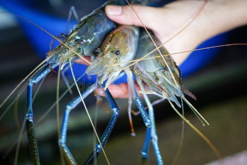 新鲜的河虾在手中 免版税库存照片