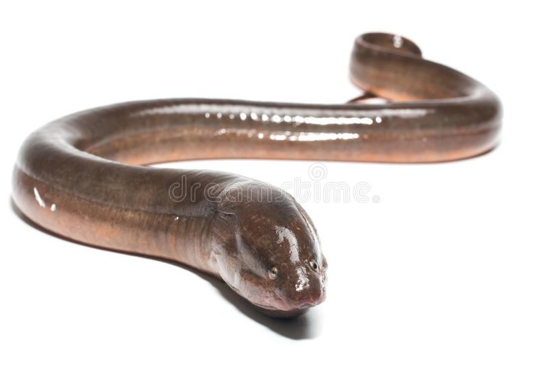 新鲜的泰国鳗鱼 免版税图库摄影