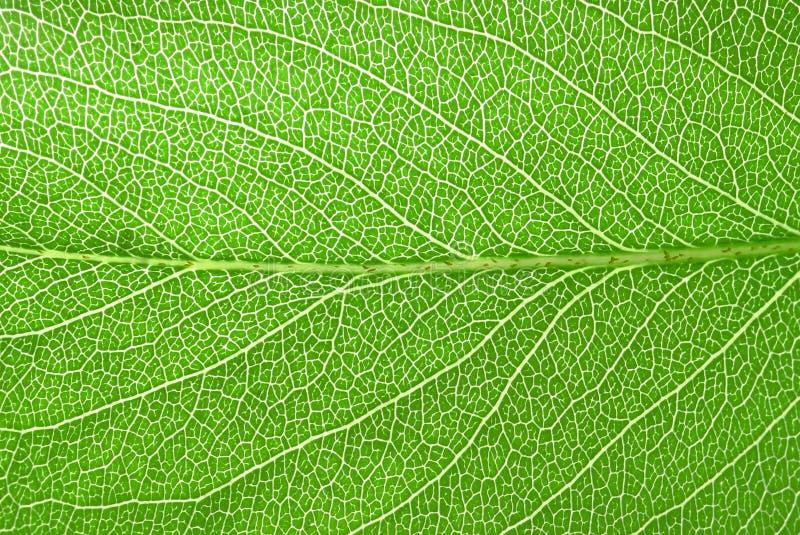 新鲜的洋梨树叶子 免版税库存图片
