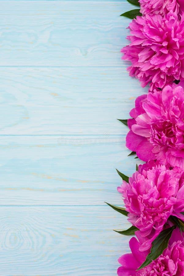 新鲜的洋红色牡丹开花在蓝色背景的框架 图库摄影