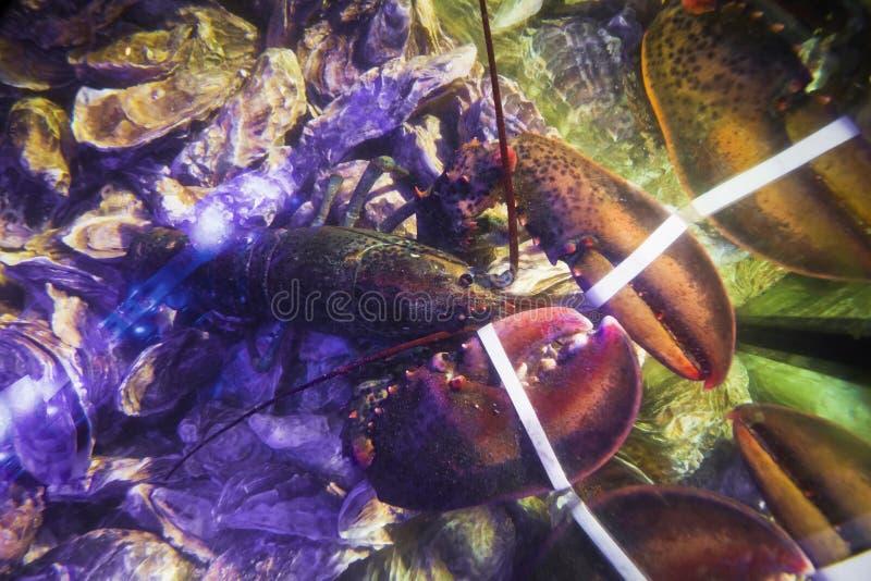 新鲜的活可食的可食牡蛎、与被栓的爪的牡蛎属和龙虾在鱼商店水族馆,昂贵和健康海鲜的销售中 免版税库存照片