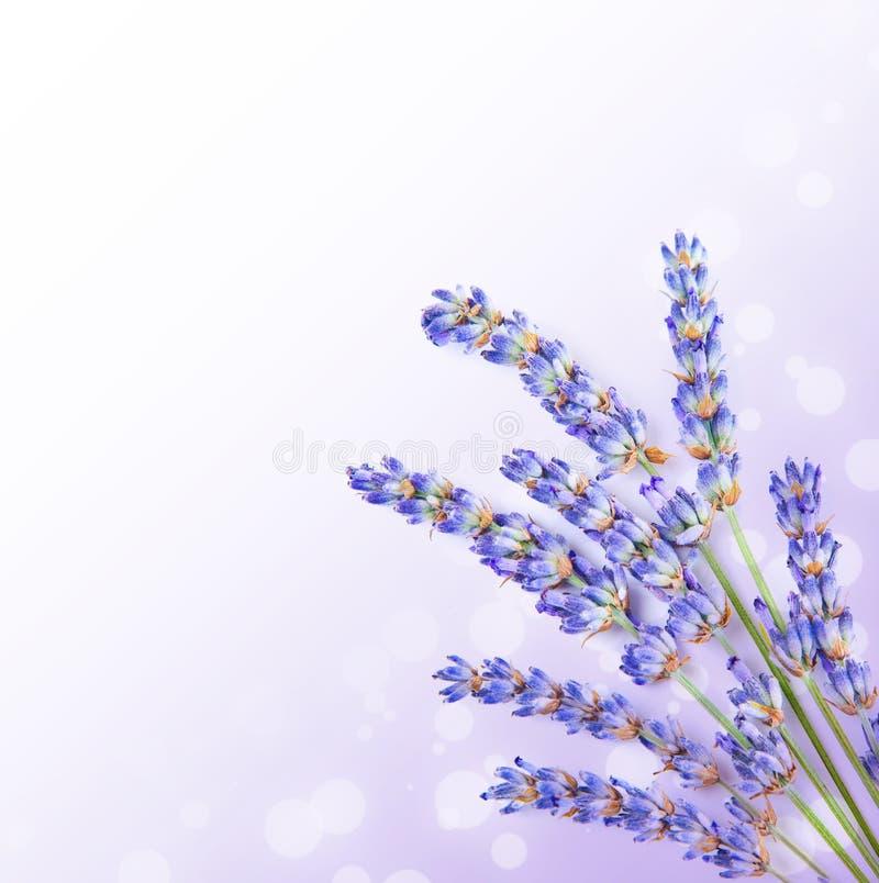 新鲜的淡紫色开花边界 库存图片