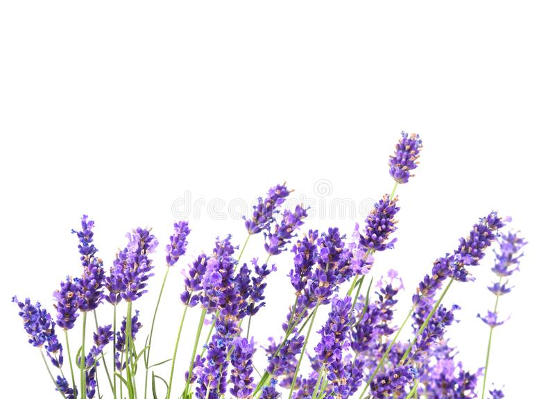新鲜的淡紫色花 库存图片