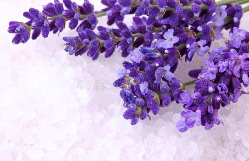新鲜的淡紫色 免版税库存照片