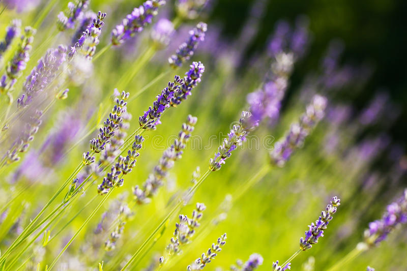 新鲜的淡紫色 库存照片