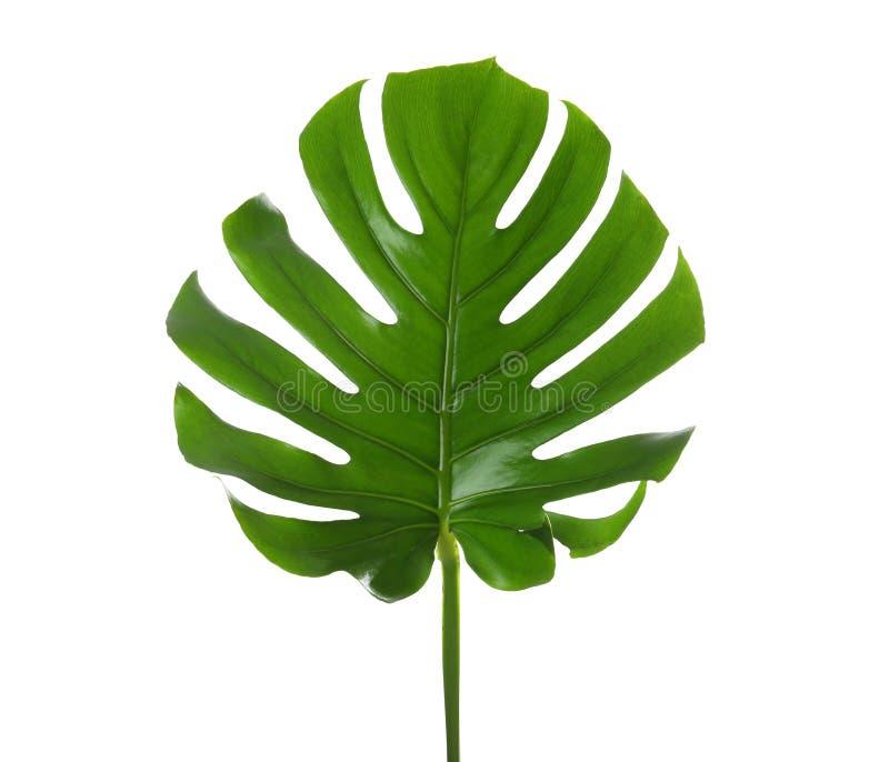 新鲜的热带monstera叶子 免版税库存照片