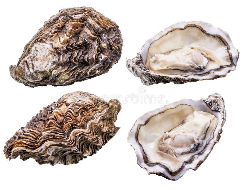新鲜的牡蛎隔绝与在白色背景的阴影 裁减路线 库存照片