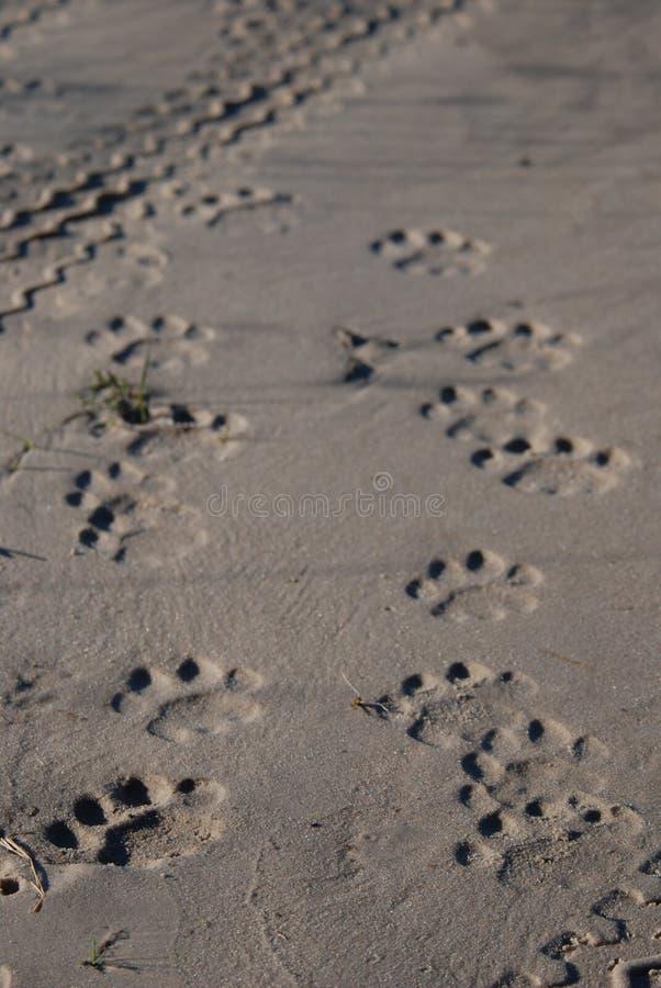 新鲜的狮子跟踪 免版税库存照片