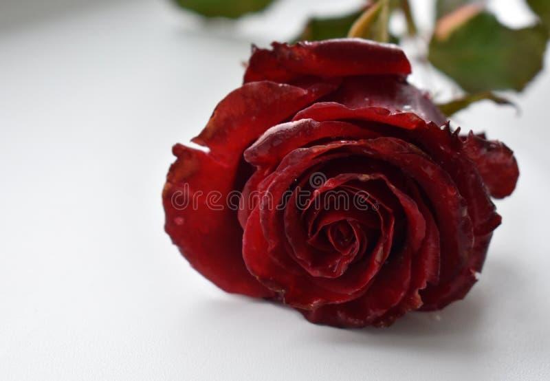 新鲜的玫瑰色特写镜头 免版税库存照片