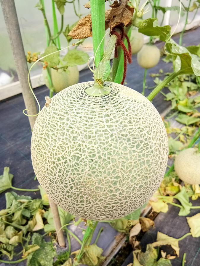 新鲜的瓜或生长自温室的绿色瓜或者甜瓜瓜植物 免版税库存照片