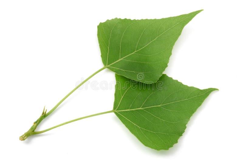新鲜的白杨树叶子 库存图片