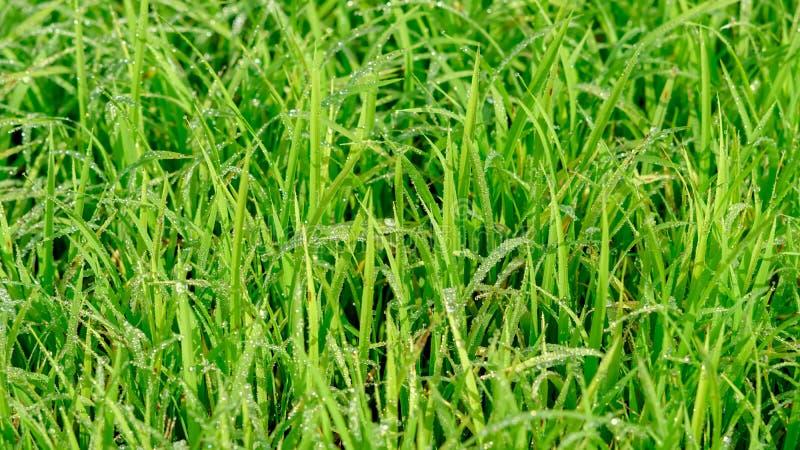 新鲜的米种子喜欢与露水的草 免版税库存图片