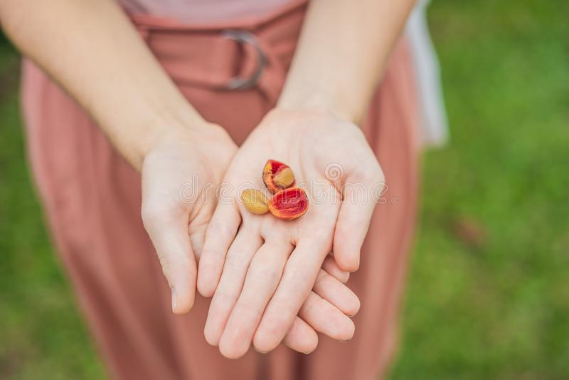 新鲜的红色莓果咖啡豆在妇女手上 库存图片