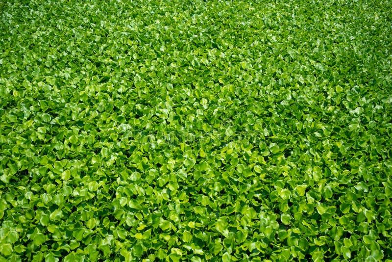 新鲜的绿色凤眼兰,叶子,有背景的阳光的 库存照片