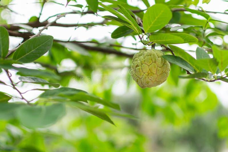 新鲜的绿色南美番荔枝 免版税库存图片