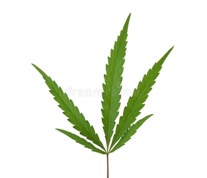 新鲜的绿色大麻叶子 库存图片