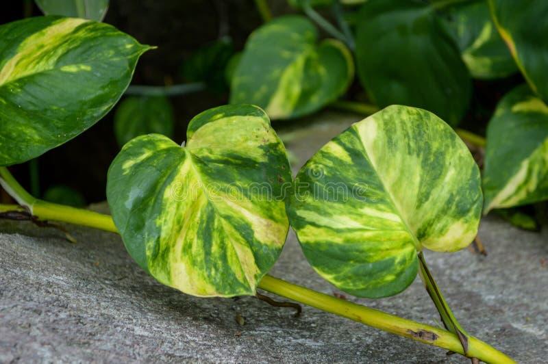 新鲜的绿色常绿藤本植物aureum在自然庭院离开 免版税库存图片
