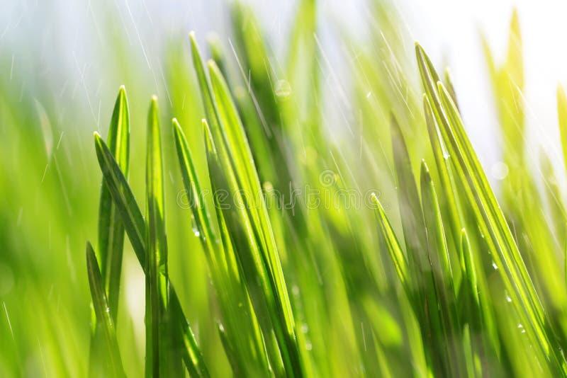 新鲜的绿色春天草叶在草甸的雨特写镜头的 免版税库存照片