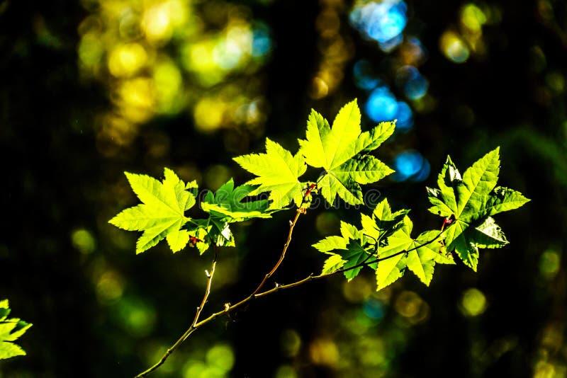 新鲜的绿色枫叶在一个森林里在不列颠哥伦比亚省,加拿大 免版税图库摄影