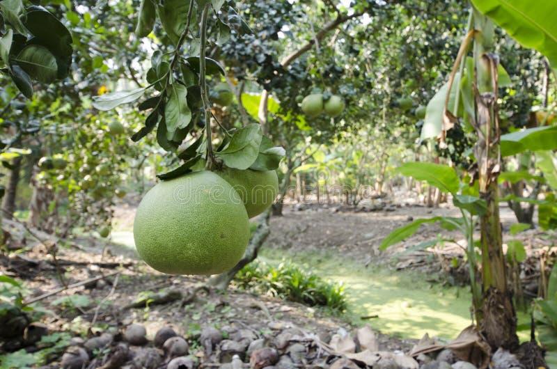 新鲜的绿色柚在庭院里 库存照片