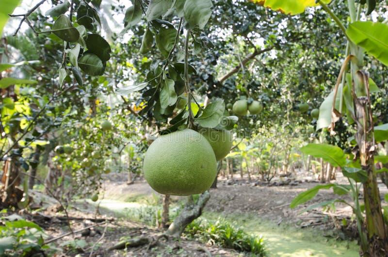 新鲜的绿色柚在庭院里 免版税库存照片