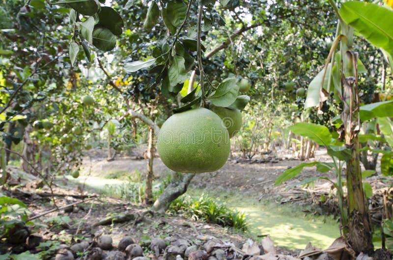 新鲜的绿色柚在庭院里 免版税库存图片