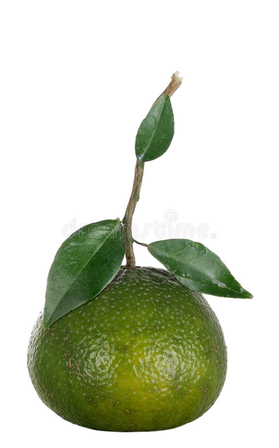 新鲜的绿色桔子 库存图片