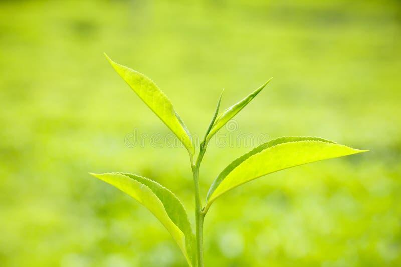 新鲜的绿色茶叶 库存照片