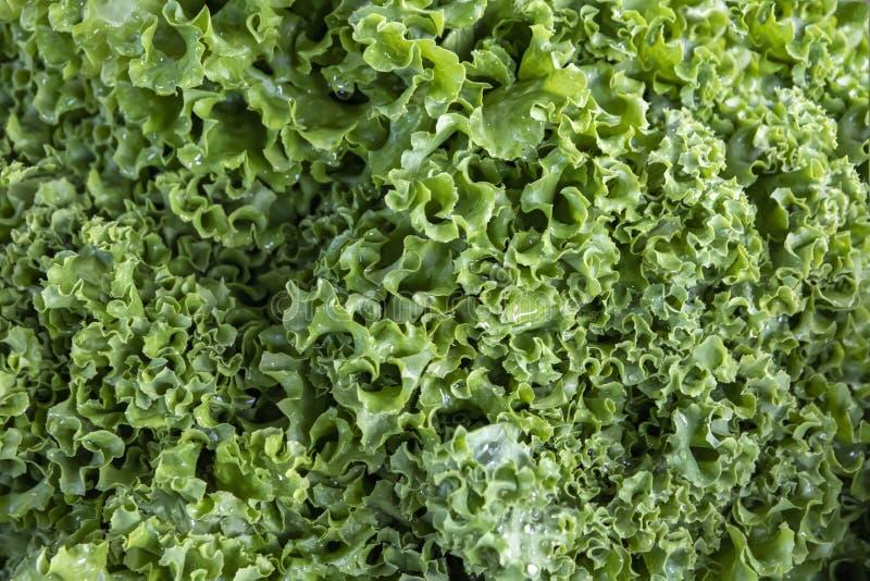 新鲜的绿色莴苣叶子与露水下落的  免版税图库摄影