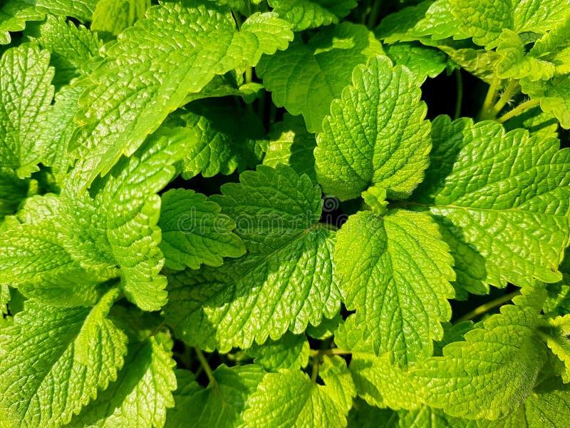 新鲜的绿色薄荷叶 与薄荷叶的背景 免版税库存图片