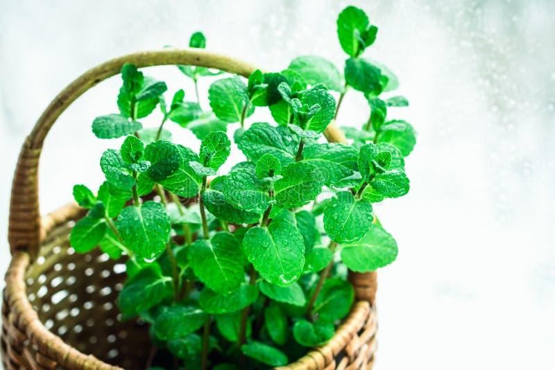 新鲜的绿色薄菏叶子  一束薄荷 免版税图库摄影