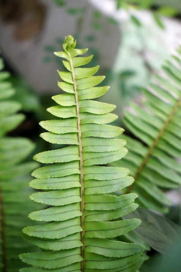 新鲜的绿色Nephrolepis cordifolia或剑蕨叶子在自然庭院里 免版税库存图片