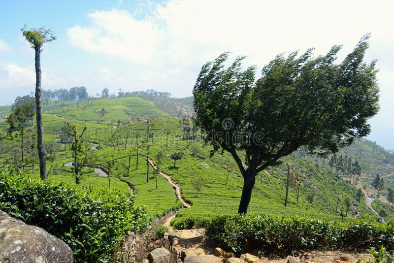 新鲜的绿茶种植园宽全景  免版税库存照片