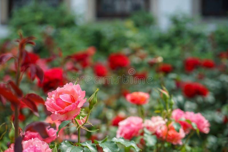 新鲜的美丽的开花的桃红色桔子在被弄脏的英国兰开斯特家族族徽和绿色叶子庭院背景上升了在阳光天,选择聚焦 免版税库存照片