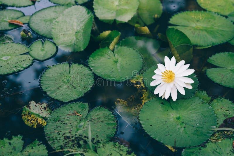 新鲜的美丽的浪端的白色泡沫百合在池塘 免版税库存照片