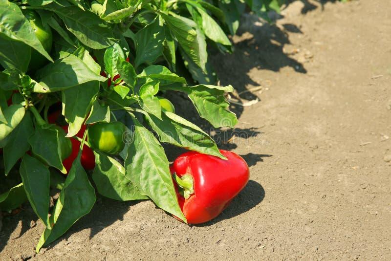 新鲜的胡椒准备好收获 免版税库存图片